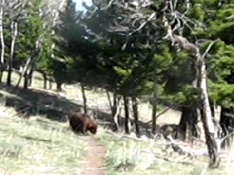 Yellowstone Bears - 2009 05 18 - Mammoth Beaver Ponds Loop Trail Black Bears Video1