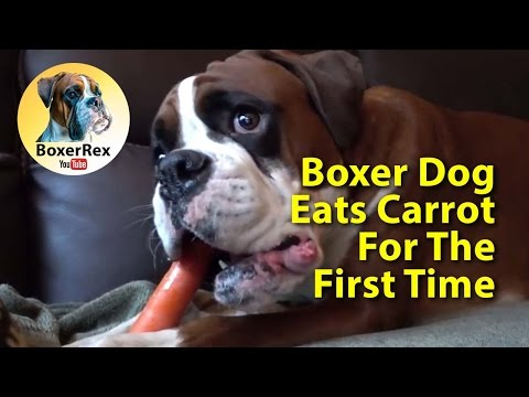 CUTE ❤️ Boxer Dog Eating A Carrot For The First Time 🥕😁