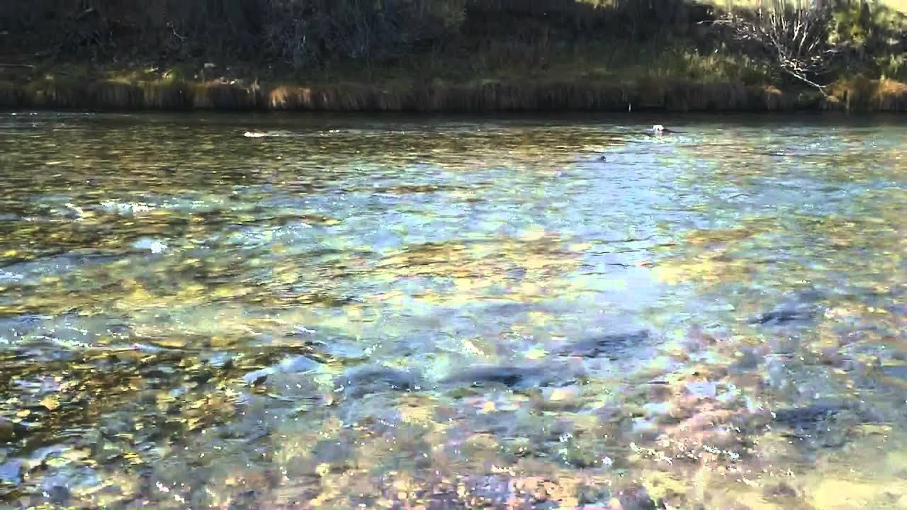 Rosco the Wire Fox Terrier Fishing Trinity River, CA, USA - YouTube