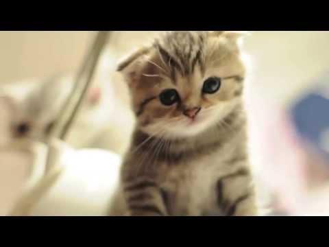 Scottish Fold Babies cat walk