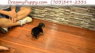 Teacup Yorkshire Terrier Male Puppy
