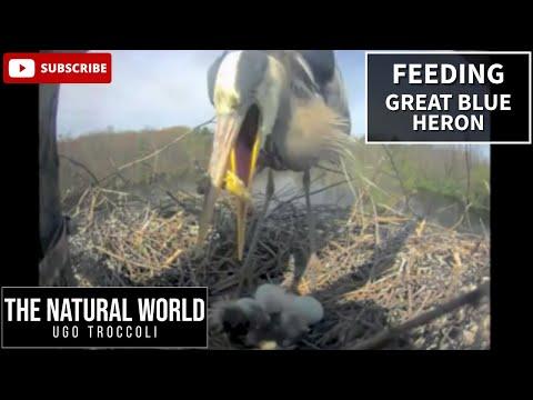 First Feeding - Great Blue Heron Nest Cam