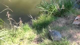Far turtle Дальневосточная черепаха
