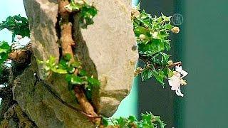 китайские деревья бонсай продадут на аукционе (новости)