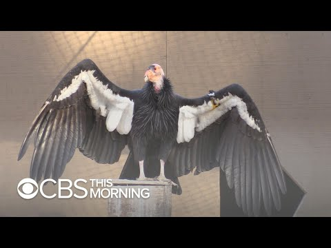 LA Zoo Uses New Tactic To Boost California Condor Population