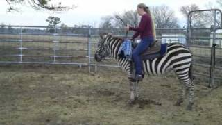 Riding Newman the Zebra