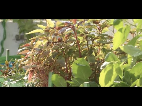 """How to grow """"Greens (Keerai)"""" in your terrace? 