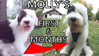 Old English Sheepdog Farm Puppy's First 6 months  Plus Some OES Facts