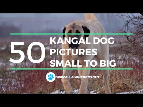 KANGAL DOG 50 PICTURES SMALL TO BIG - All About Dogs