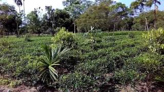 Tea garden at village