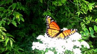 Viceroy Butterfly