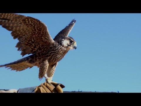 Bedouin Hunting Falcons in Jordan Desert