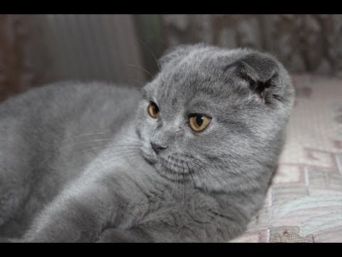 Группа создана для желающих приобрести шотландских и британских котят. А так же для заводчиков и владельцев питомников, которые хотят продать котят и взрослых кошек.