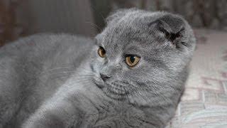 Cute Scottish Fold Kitten | 4 Month / Шотландская Вислоухая | 4 Месяца
