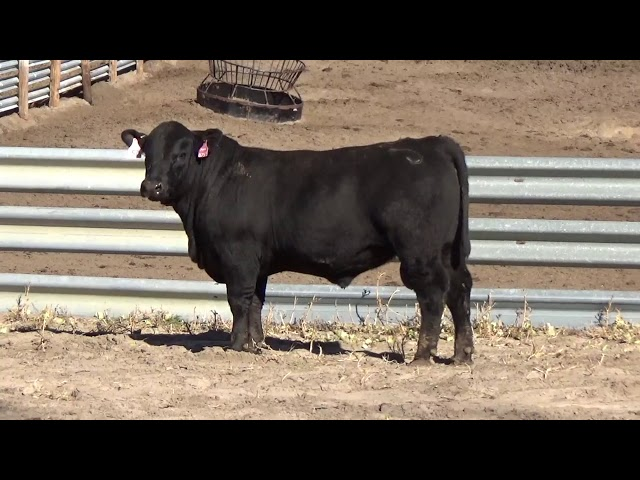 Connealy Angus Lot 57