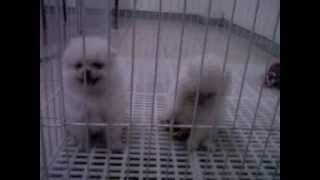 [for Sell] 2 White Mini Pomeranian Puppies, Female & Male