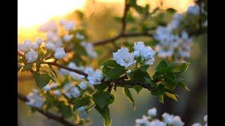 Яблоневый вечер песня под баян