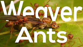 Weaver Ants | The queens, the princesses, the drones and the workers