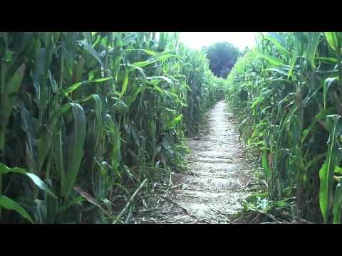 Cool Patch Pumpkins Corn Maze- Dixon, CA! Day 99