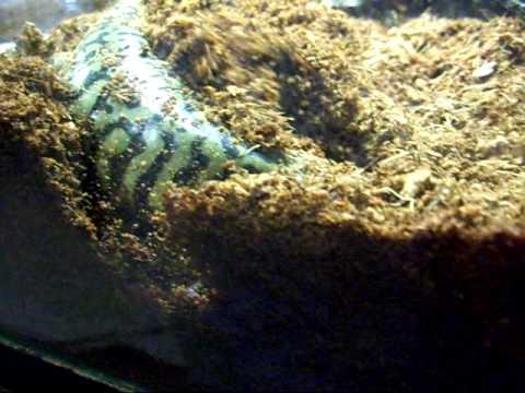 Tiger Salamander Digging His Hole.