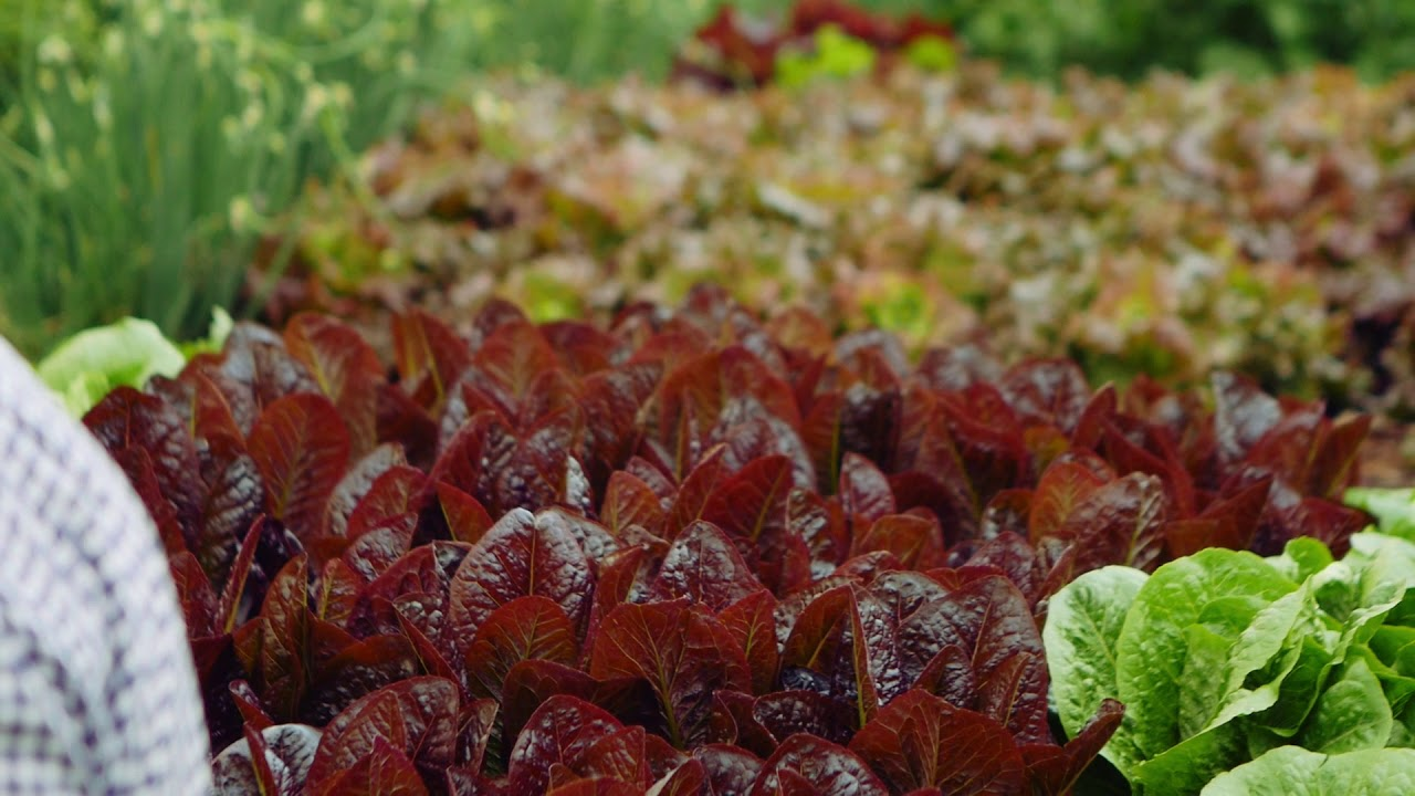 Art of Spring Greens Romaine & Red Sail Lettuce GS1808 - YouTube