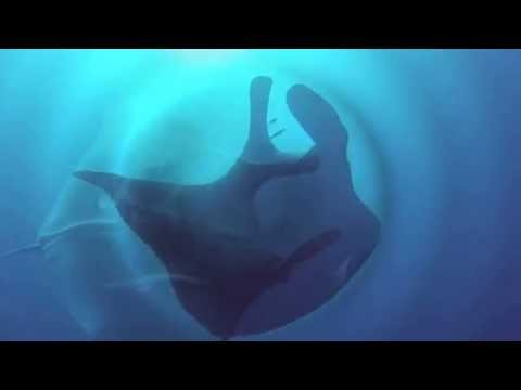 Manta Ray diving in Red Sea