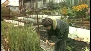 Гладиолусы: когда выкапывать и как хранить?