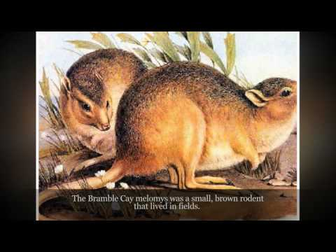 Bramble Cay Melomys Extinction Due To Climate Change