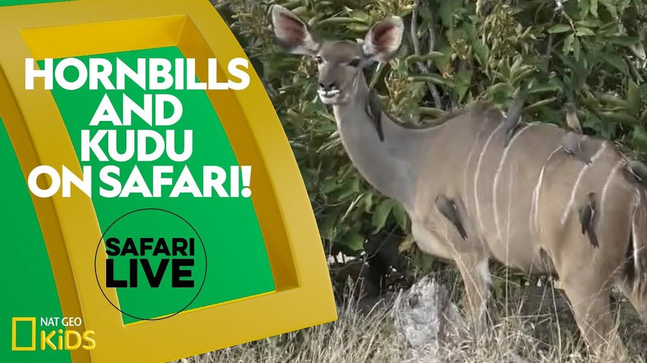 Hornbills and Kudu on Safari! | Safari Live