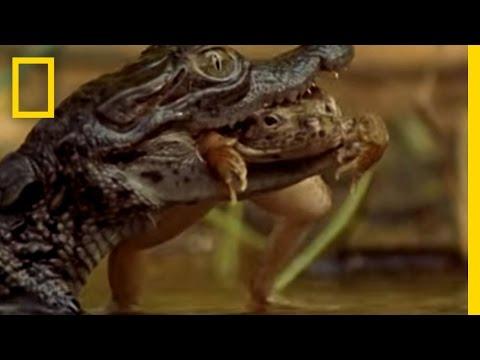 Cracker the Crocodile