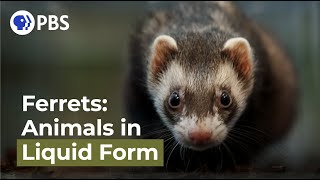 Ferrets: Animals in Liquid Form