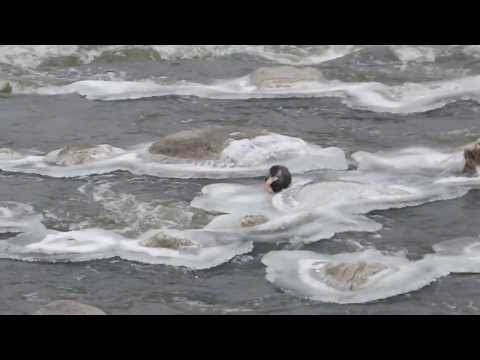 River Otter Eats Fish - Red River of the North