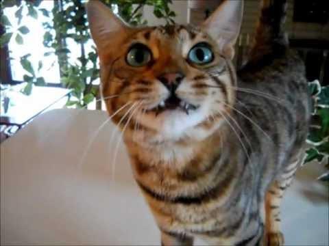 Bengal Cat Boo Talking loudly