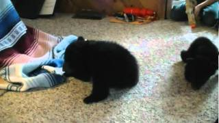 Repeat youtube video Cubs first steps while crawling