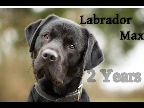 ~ Labrador Retriever Max | 2 Years ~