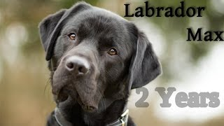 ~ Labrador Retriever Max | 2 Years ~