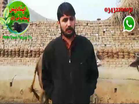 Pure neeli ravi buffalo  for sale in Pakistan on youtube 31-01-2019