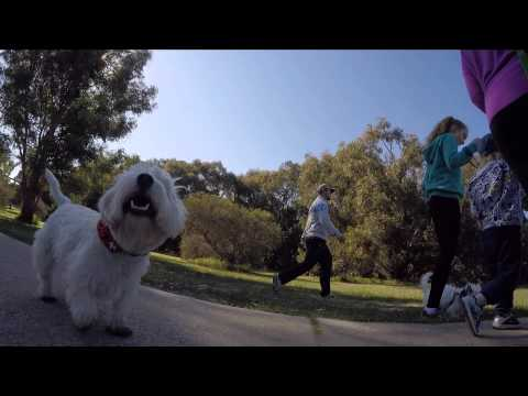 Perth Westie Walk (Ceaser & Friends)