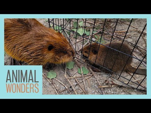 Beavers Meet! Will They Be Friends?