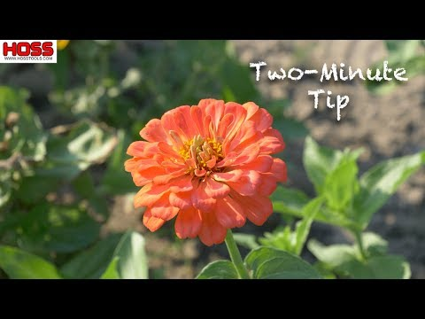 Pruning ZINNIAS For Sturdier, More PRODUCTIVE Plants