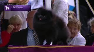 Pomeranians   Breed Judging 2021