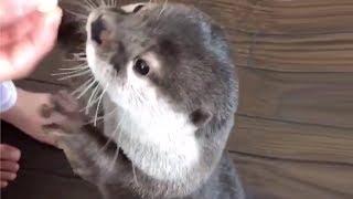 Otters Making Strange Noises For Food Compilation