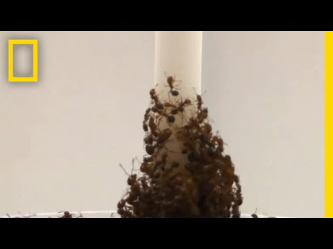Watch: Fire Ants Create Towers With Their Own Bodies | National Geographic
