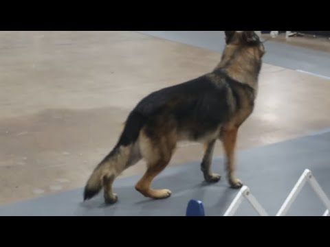 The National Dog Show 2015: German Shepherd Dogs