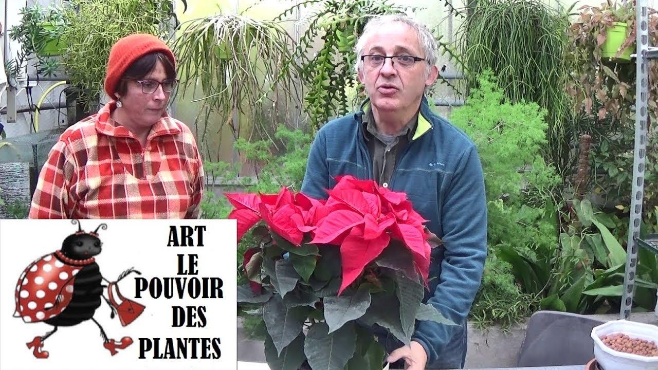 Conseils Jardinage Poinsettia Etoile De Noel Entretien Et