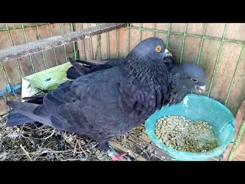 Memberi Makan Burung Dara Burung Merpati Youtube
