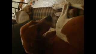 Sleepy Redtick Coonhound