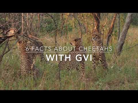Video of Cheetah | Cheetah Facts Video | GVI South Africa