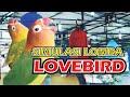 Simulasi Lomba Lovebird Terbaru Terbukti Ampuh Naikan Mental Lovebird Part   Mp3 - Mp4 Download