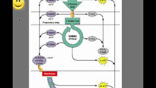 Glycolysis - Introduction to Aerobic Respiration, Anaerobic Respiration, and Fermentation